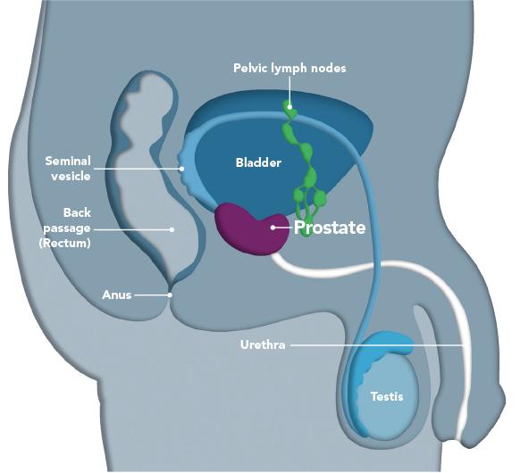 The Prostate Gland Prostap Dcs
